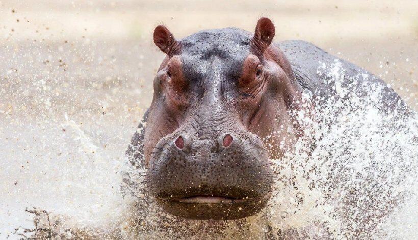 В Кении бегемот до смерти искусал туриста