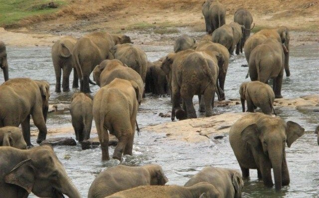 В Шри-Ланке три сотни слонов почтили память погибшего вожака