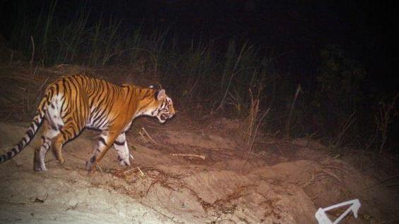 тигрица людоед
