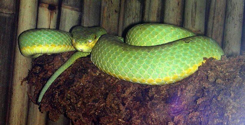 бамбуковая ямкоголовая змея