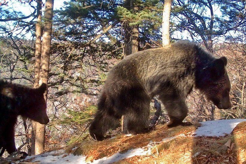 семья медведей в Приморье