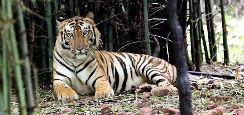 В центральной Индии двести человек охотятся на тигра- людоеда