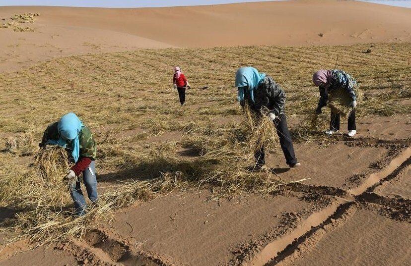 как в Китае озеленяют пустыни