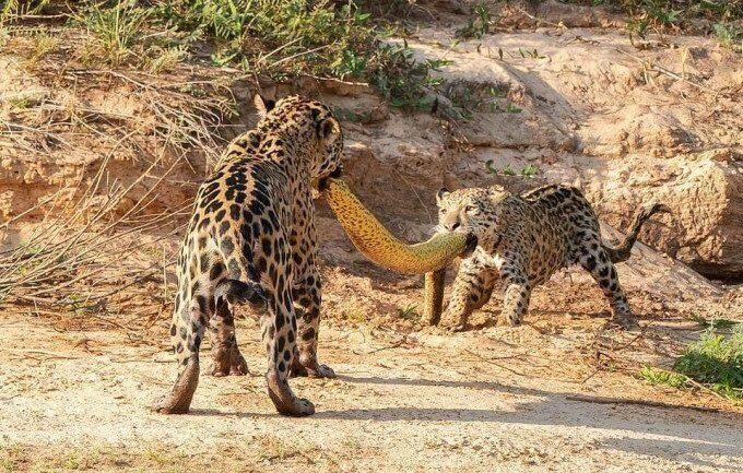Как ягуар с детенышем охотились на анаконду в Бразилии