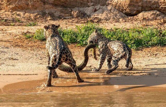 ягуар с детенышем поймали анаконду