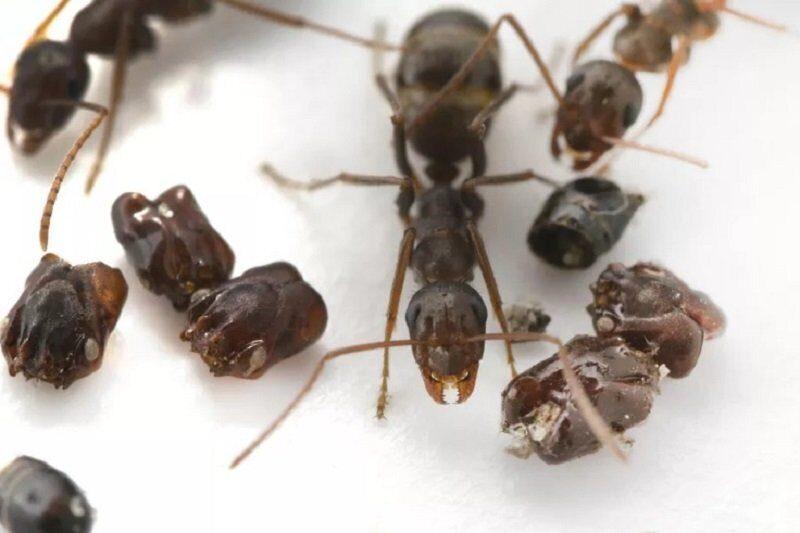 воинственные муравьи