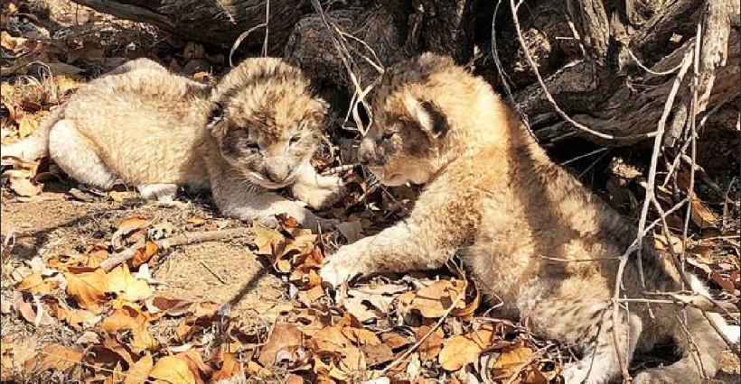 Первые в мире львята из пробирки родились в ЮАР
