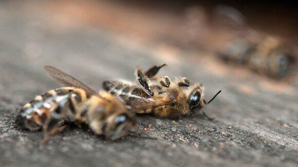 пестициды убивают пчёл