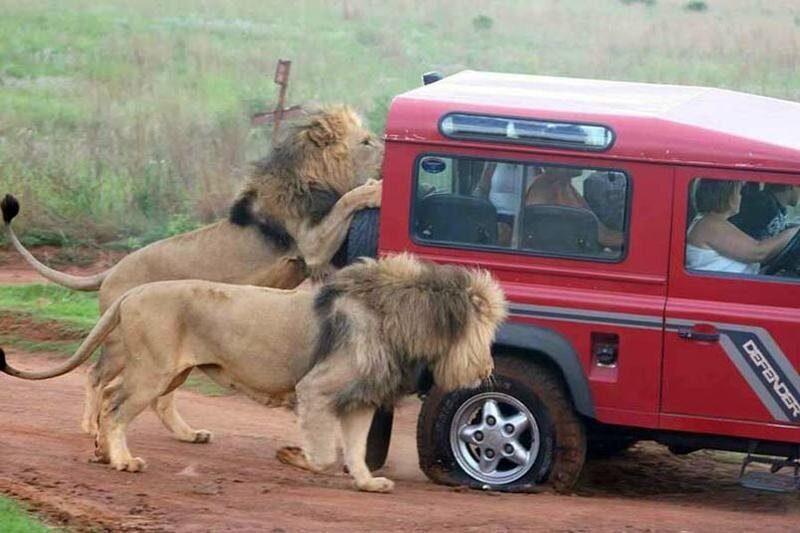 Львы в ЮАР научились прокусывать покрышки на машинах туристов