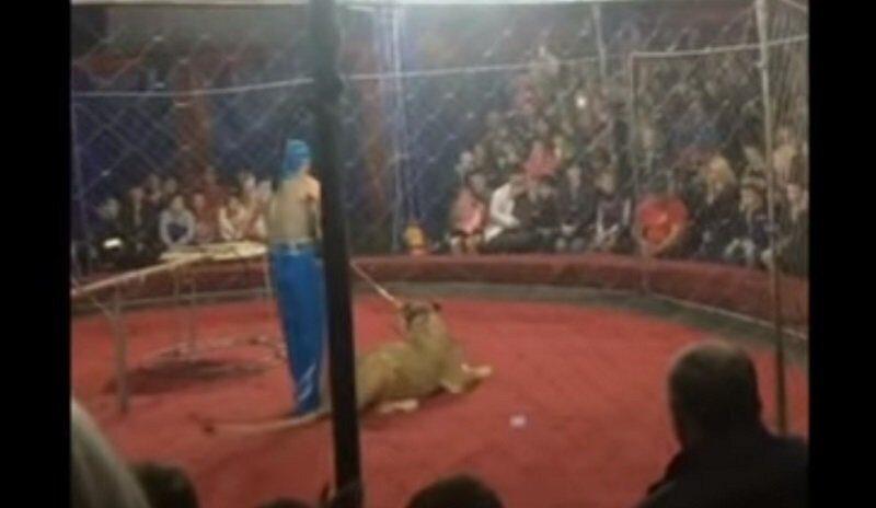 На Кубани львица в цирке напала на трехлетнюю девочку