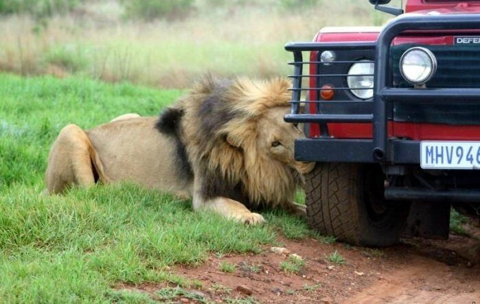 львы напали на автомобиль туристов