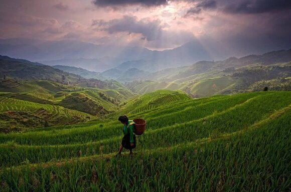 Китайский гибридный рис дает рекордный урожай